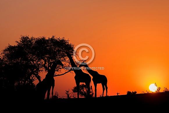 Three Giraffe Silhouettes at Sunset