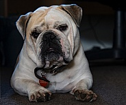 British or English bulldog