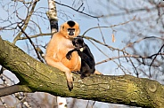Gibbon mother with child
