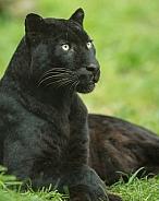 black leopard 2