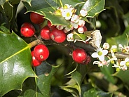 Holly berries and blossom