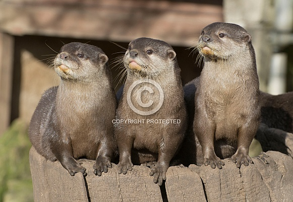 Asian Clawed Otters