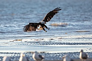 Adult eagle landing on a beach in Alaska