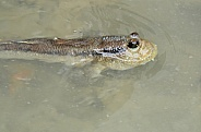 Mud Skipper