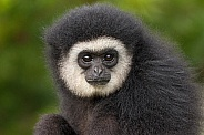 Lar Gibbon Young Male Close Up