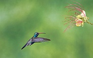Male Broad-billed Hummingbird