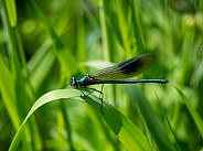 Damselfly (Banded Demoiselle) Male