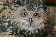 European Eagle Owl Face Shot