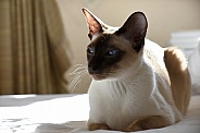 Chocolate Point Siamese Cat
