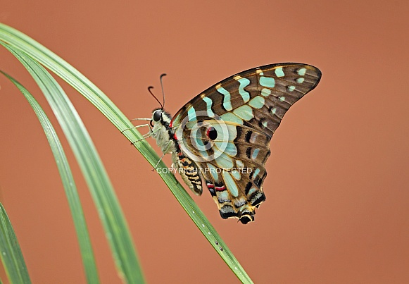 Common Swordtail