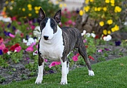 Brindle bull terrier posed by some flowers
