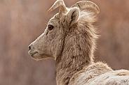 Mountain sheep ewe portrait