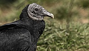 Black Vulture Side Profile