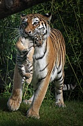 Siberian tiger mum carrying cub