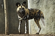 African Painted Dog Full Body
