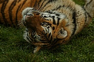 Amur Tiger Rolling Over Looking At Camera