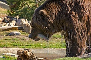 Grizzly Bear catching Fish