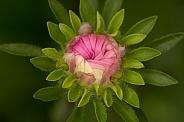 Aster daisy bud