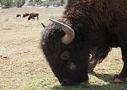 Bison, Bovidae