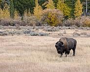 Batchelor Bison
