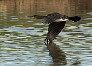 Juvenile Cormorant in Flight