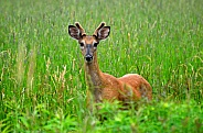 White-Tailed Deer - Buck