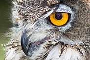 Eagle Owl Headshot - Macro