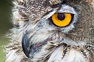 Eagle Owl Headshot - Macro