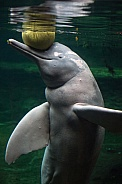 The Amazon river dolphin