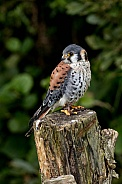 American Kestrel On Tree Stump Full Body