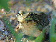 Frog With Grass Blade