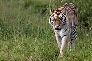 Siberian tiger walking through grass