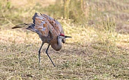 Sandhill Crane in a Dance Pose