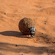 Green-grooved Dung Beetle