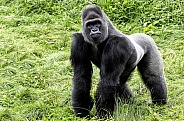 Full Body Shot of Western Lowland Gorilla