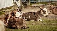 Mini Donkey resting