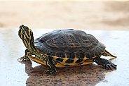 Yellow-bellied slider Turtle