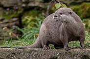 Asian Short Clawed Otter Full Body