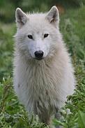adult hudson bay wolf