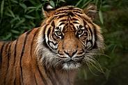 Sumatran Tiger Face Close Up
