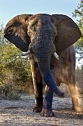 Charging African Elephant - Zimbabwe
