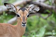 Impala lamb (Rooibok)