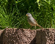 White-crowned Sparrow Standing