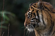 Sumatran Tiger Side Profile