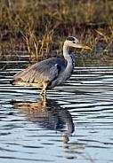 Grey Heron - Okavango Delta - Botswana