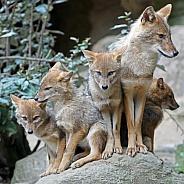 Golden jackal Family