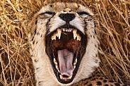 Cheetah Yawn