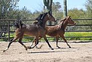 Two young Arabian horses running and playing
