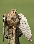 Female Common Kestrel Guarding Prey