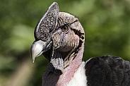 Andean Condor Male Close Up